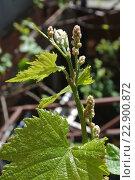 Купить «Молодая зацветающая лоза винограда, крупный план», фото № 22900872, снято 8 мая 2016 г. (c) Елена Александрова / Фотобанк Лори