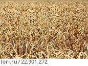 Пшеничное поле. Стоковое фото, фотограф Андрей Силивончик / Фотобанк Лори