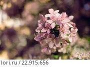 Цветущие яблони. Стоковое фото, фотограф Светлана Сарапкина / Фотобанк Лори