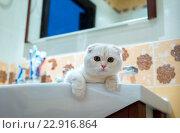 Купить «Scottish Fold kitten lying in sink in bathroom», фото № 22916864, снято 25 февраля 2016 г. (c) Володина Ольга / Фотобанк Лори