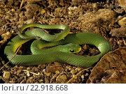Купить «Smooth green snake (Opheodrys vernalis), Ontario, Canada.», фото № 22918668, снято 20 ноября 2018 г. (c) age Fotostock / Фотобанк Лори