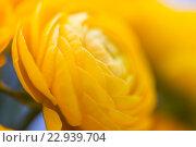 Купить «close up of beautiful yellow ranunculus flowers», фото № 22939704, снято 27 марта 2016 г. (c) Syda Productions / Фотобанк Лори
