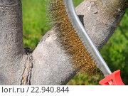 Купить «Чистка деревьев перед побелкой», эксклюзивное фото № 22940844, снято 4 мая 2016 г. (c) Юрий Морозов / Фотобанк Лори