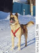 Собака в шлейке для ездового спорта на собаках. Стоковое фото, фотограф Анастасия Гамова / Фотобанк Лори