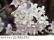 Купить «Вишня гибридная, цветы крупным планом», фото № 22942012, снято 9 апреля 2016 г. (c) Сергей Трофименко / Фотобанк Лори