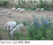 Овцы на пастбище летом. Стоковое фото, фотограф Елена Утенкова / Фотобанк Лори