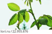 Купить «Мокрые зеленые листья розы», видеоролик № 22955876, снято 10 мая 2016 г. (c) ActionStore / Фотобанк Лори
