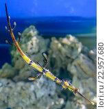 Купить «Рыба необычной формы и расцветки, обитатель морских и океанских глубин на мелководье кораллового рифа», фото № 22957680, снято 29 марта 2016 г. (c) Игорь Травкин / Фотобанк Лори