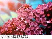 Купить «Цветы красной сирени крупным планом», фото № 22978732, снято 23 мая 2016 г. (c) Зезелина Марина / Фотобанк Лори