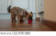 Купить «Маленькая собака ест влажный корм», видеоролик № 22978980, снято 9 мая 2016 г. (c) ActionStore / Фотобанк Лори