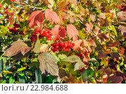 Купить «Ветви калины красной или калины обыкновенной с плодами. Подмосковье», фото № 22984688, снято 15 сентября 2015 г. (c) Устенко Владимир Александрович / Фотобанк Лори