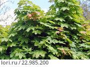 Купить «Крона молодого кленового дерева, крупный план», фото № 22985200, снято 2 мая 2016 г. (c) Елена Александрова / Фотобанк Лори