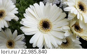Купить «Белые цветы герберы», фото № 22985840, снято 6 мая 2016 г. (c) DiS / Фотобанк Лори