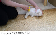 Купить «Женщина расчёсывает белую кошку шотландской породы», видеоролик № 22986056, снято 19 мая 2016 г. (c) Володина Ольга / Фотобанк Лори