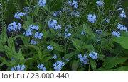 Купить «Myosotis is flowering plant, family Boraginaceae», видеоролик № 23000440, снято 20 мая 2016 г. (c) BestPhotoStudio / Фотобанк Лори