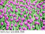 Купить «Фиолетовые тюльпаны в весенний солнечный день, фон», фото № 23004784, снято 7 мая 2016 г. (c) Екатерина Овсянникова / Фотобанк Лори