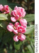 Купить «Молодой розовый цветок рододендрон», фото № 23006004, снято 23 мая 2016 г. (c) Татьяна Васильева / Фотобанк Лори