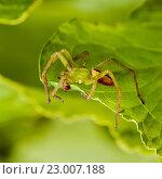 Купить «Зеленый  паук сидит на листе растения», эксклюзивное фото № 23007188, снято 25 мая 2016 г. (c) Игорь Низов / Фотобанк Лори