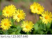 Цветки дороникума восточного (Doronicum orientale Hoffm.). Весна. Стоковое фото, фотограф Ирина Борсученко / Фотобанк Лори