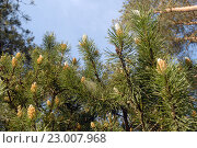 Купить «Ветка сосны с молодыми побегами в сосновом лесу на Куршской косе», эксклюзивное фото № 23007968, снято 29 мая 2016 г. (c) Svet / Фотобанк Лори
