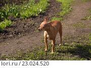 Русский той-терьер. Стоковое фото, фотограф Сергей Варламов / Фотобанк Лори