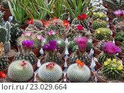 Купить «Продажа цветущих кактусов», фото № 23029664, снято 11 мая 2014 г. (c) Наталья Волкова / Фотобанк Лори