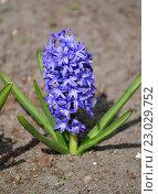Купить «Цветущий синий гиацинт восточный (Hyacinthus orientalis L. )», фото № 23029752, снято 3 мая 2016 г. (c) Ирина Борсученко / Фотобанк Лори
