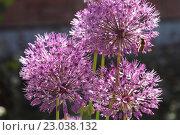 Купить «Лук голландский декоративный (Allium hollandicum), крупный план», эксклюзивное фото № 23038132, снято 12 мая 2016 г. (c) Ирина Водяник / Фотобанк Лори