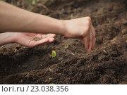 Купить «Женские руки с семенами, посадка семян в саду», фото № 23038356, снято 13 мая 2016 г. (c) Константин Колосов / Фотобанк Лори