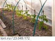 Грунтовые помидоры. Стоковое фото, фотограф Фотин Андрей / Фотобанк Лори
