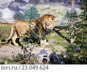 Лев в вольере зоопарка. Стоковое фото, фотограф Игорь Аникин / Фотобанк Лори