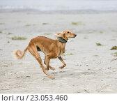 Купить «Салюки играет на пляже», фото № 23053460, снято 18 августа 2014 г. (c) Артём Сапегин / Фотобанк Лори