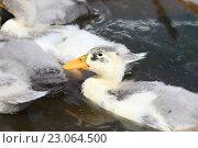 Купить «Утки плавают», эксклюзивное фото № 23064500, снято 3 июня 2016 г. (c) Вероника / Фотобанк Лори