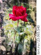 Ярко-красная роза с каплями росы на лепестках. Стоковое фото, фотограф Екатерина Голубкова / Фотобанк Лори