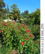 Купить «Красные розы на клумбе, веерная пальма, зеленые деревья и кустарник, парк Дендрарий, Сочи», фото № 23066200, снято 9 мая 2016 г. (c) DiS / Фотобанк Лори