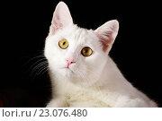 Купить «Белый кот, изолированно на черном фоне», фото № 23076480, снято 25 ноября 2015 г. (c) Стивен Жингель / Фотобанк Лори