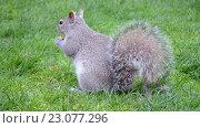 Купить «Белка с пушистым хвостом на зеленом газоне ест орешки», видеоролик № 23077296, снято 1 мая 2016 г. (c) FMRU / Фотобанк Лори