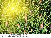 Купить «Сосна горная (лат. Pinus mugo). Хвоя и почки крупным планом», фото № 23078512, снято 14 апреля 2016 г. (c) Сергей Трофименко / Фотобанк Лори