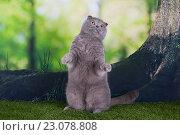 Купить «Шотландская вислоухая кошка охотится в лесу», фото № 23078808, снято 14 апреля 2016 г. (c) Светлана Валуйская / Фотобанк Лори