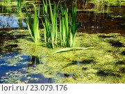 Купить «Зелёные листья в пруду», фото № 23079176, снято 22 мая 2016 г. (c) Татьяна Кахилл / Фотобанк Лори