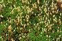 Мох кукушкин лён со спорангиями (Polytrichum commune L.), фото № 23079556, снято 12 июня 2016 г. (c) Григорий Писоцкий / Фотобанк Лори
