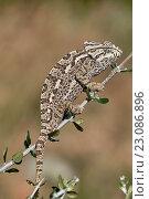 Купить «European Chamaleon (Chamaeleo chamaeleon) on a tree branch. Benalmadena, Malaga Province, Andalusia, Spain.», фото № 23086896, снято 29 марта 2016 г. (c) age Fotostock / Фотобанк Лори