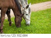 Купить «Лошадь с жеребенком пасутся на лужайке», фото № 23102684, снято 4 мая 2016 г. (c) Наталья Двухимённая / Фотобанк Лори