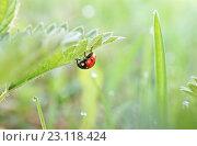 Семиточечная божья коровка (Coccinella septempunctata) Стоковое фото, фотограф Dmitry29 / Фотобанк Лори