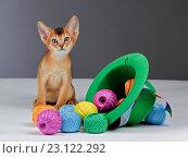 Купить «Абиссин, котёнок», фото № 23122292, снято 28 ноября 2014 г. (c) Татьяна Попова / Фотобанк Лори