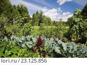 Купить «Plant, flower and vegetable garden including deep red Amaranthus hypochondriacus - Plainsman amarnth flowers and Helianthus annuus - Sunflowers in private...», фото № 23125856, снято 19 августа 2012 г. (c) age Fotostock / Фотобанк Лори