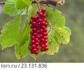 Купить «Гроздь плодов лимонника китайского Schisandra chinensis», фото № 23131836, снято 16 сентября 2012 г. (c) Олег Рубик / Фотобанк Лори