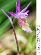 Купить «Орхидея Калипсо (Calypso bulbosa)», фото № 23146312, снято 22 мая 2016 г. (c) Евгений Ткачёв / Фотобанк Лори