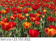 Газон с красными и желтыми тюльпанами. Стоковое фото, фотограф Михаил Никитин / Фотобанк Лори