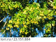 Купить «Ветка цветущей липы», фото № 23151884, снято 3 июля 2015 г. (c) Зобков Георгий / Фотобанк Лори